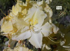 Rhododendron luteum 'Wryneck'