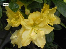 Rhododendron luteum 'Yellow Cloud'