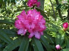 Rhododendron makinoi 'Rosa Perle'