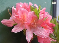 Rhododendron mollis 'Apple Blossom'