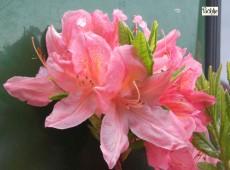 Rhododendron mollis 'Apple Blossom'