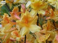 Rhododendron mollis 'Christopher Wren'