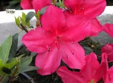 Rhododendron obtusum 'Arabesk'
