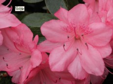 Rhododendron obtusum 'Blaauws Pink'