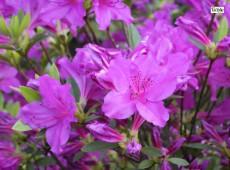 Rhododendron obtusum 'Blaue Donau' / 'Blaue Danube'