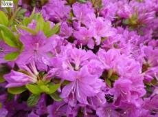 Rhododendron obtusum 'Diamant Enzianblau'