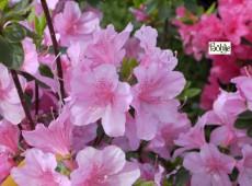 Rhododendron obtusum 'Diemel'