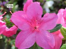 Rhododendron obtusum 'Eder'