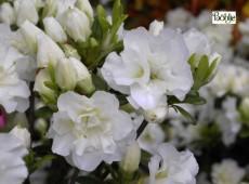 Rhododendron obtusum 'Eisprinzessin' (R)