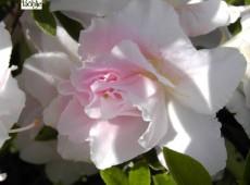 Rhododendron obtusum 'Eliza Hyatt'