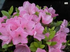 Rhododendron obtusum 'Falkenstein'