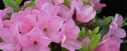 Rhododendron obtusum (japanische Azalee)