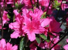 Rhododendron obtusum 'Favorite'