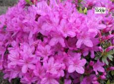 Rhododendron obtusum 'Fumiko'