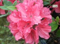 Rhododendron obtusum 'Satschiko' ('Geisha Orange')