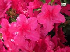 Rhododendron obtusum 'Georg Arends'