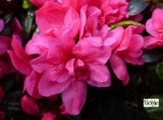 Rhododendron obtusum 'Gislinde'