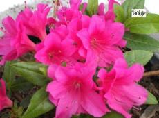Rhododendron obtusum 'Hatsugiri Rot'