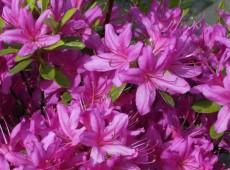 Rhododendron obtusum 'Hatsugiri'