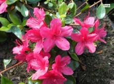 Rhododendron obtusum 'Hino crimson'