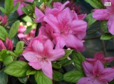 Rhododendron obtusum 'Kerspe'