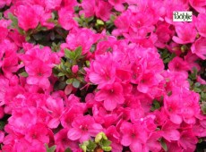 Rhododendron obtusum 'Labe'