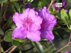 Rhododendron obtusum 'Lilienstein'