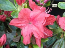 Rhododendron obtusum 'Lingese'