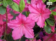 Rhododendron obtusum 'Lister'