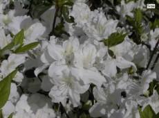 Rhododendron obtusum 'Luzi'