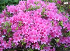Rhododendron obtusum 'Madame Albert van Hecke'