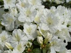 Rhododendron obtusum 'Maischnee' (R)