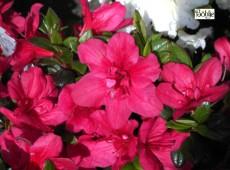 Rhododendron obtusum 'Maruschka' ®