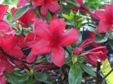 Rhododendron obtusum 'Midnight Flare'
