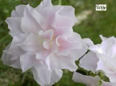 Rhododendron obtusum 'Mrs Nancy Dipple'