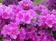 Rhododendron obtusum 'Multiflorum Lila'