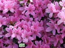 Rhododendron obtusum 'Multiflorum Rosa'