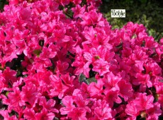 Rhododendron obtusum 'Multiflorum Rot'