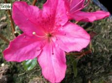 Rhododendron obtusum 'Neye'