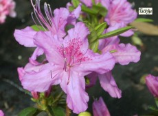 Rhododendron obtusum 'Oester'