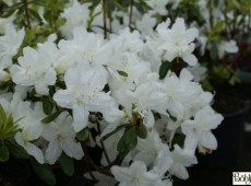 Rhododendron obtusum 'Palestrina'