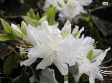 Rhododendron obtusum 'Patricia Barmold'