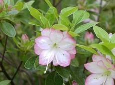 Rhododendron obtusum 'Roehr's Peggy Ann'