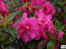 Rhododendron obtusum 'Petticoat' (R)