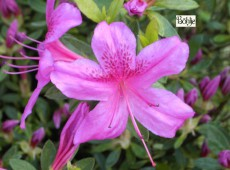 Rhododendron obtusum 'Purple Splendor'