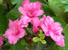 Rhododendron obtusum 'Rokoko'