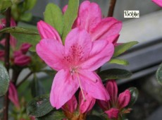 Rhododendron obtusum 'Rosalind'