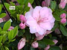 Rhododendron obtusum 'Rosebud'