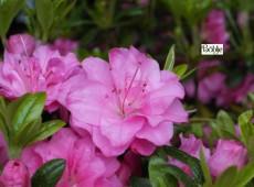 Rhododendron obtusum 'Rosinetta'