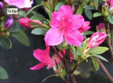 Rhododendron obtusum 'Rotstein'